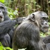 &#8216;Chimpanzee&#8217; Offers a Delightful Observation of Monkey Business